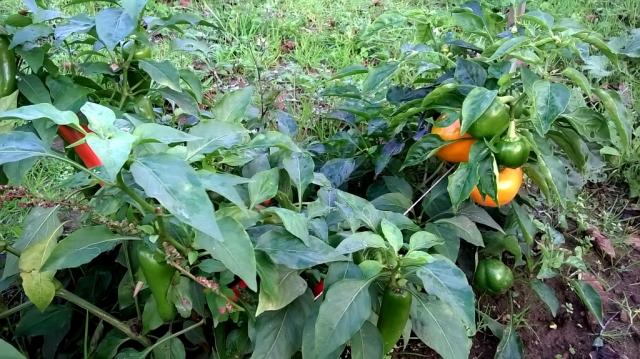 pimentoss
